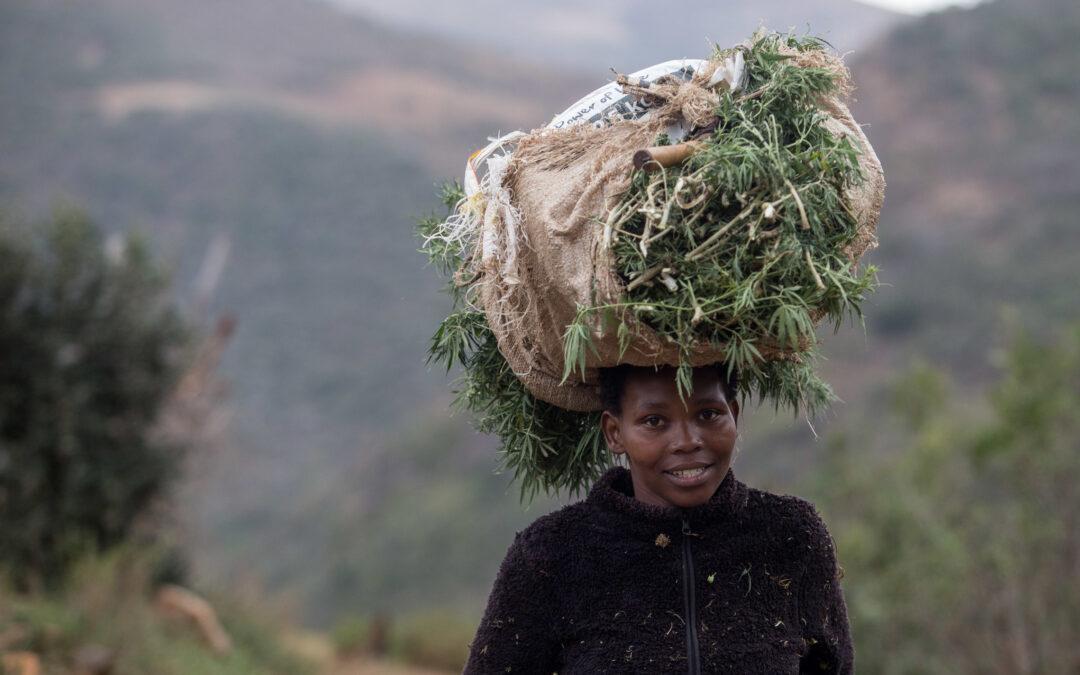 Legalising the budding hemp industry will help it bloom